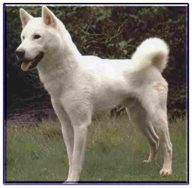 紀州犬の画像 p1_34